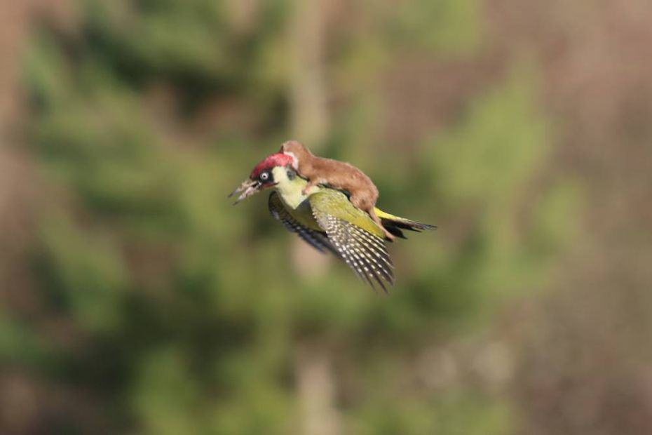 The Internet Reacted Hilariously To The Weasel Riding A Woodpecker martinlemay