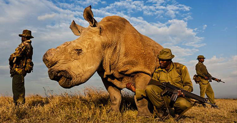 Last Male Northern White Rhino On Planet Has 24/7 Armed Guard Protection CCS1k4QW8AAFmAD