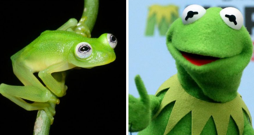This New Species Of Frog Looks Exactly Like Kermit Screen Shot 2015 04 21 at 14.44.45