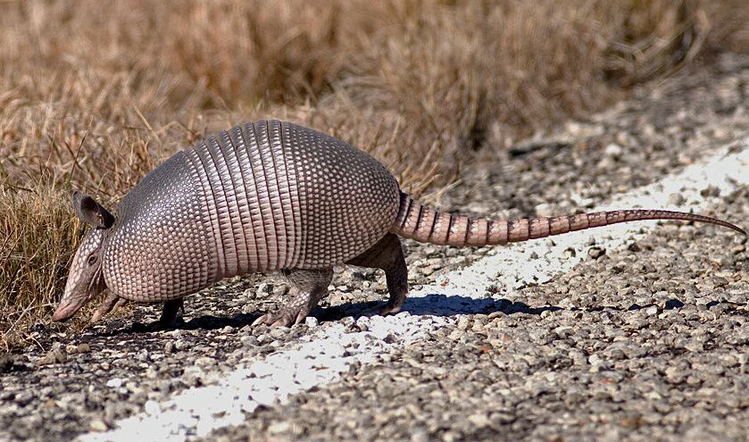 Man Accidentally Shoots Mother In Law After Bullet Bounces Off Armadillo armadillo 31
