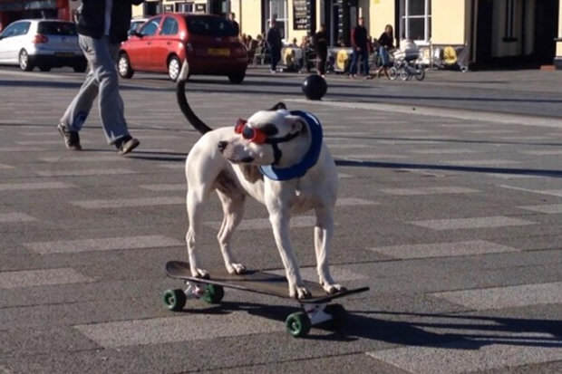 This Skateboarding Staffie Is Out To Change Peoples Negative Perceptions Of The Breed drfghjkl