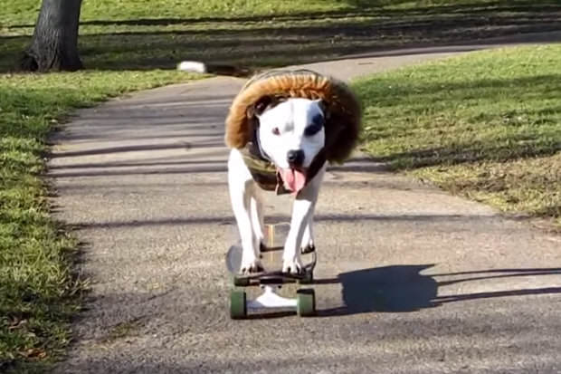 This Skateboarding Staffie Is Out To Change Peoples Negative Perceptions Of The Breed kjhgv