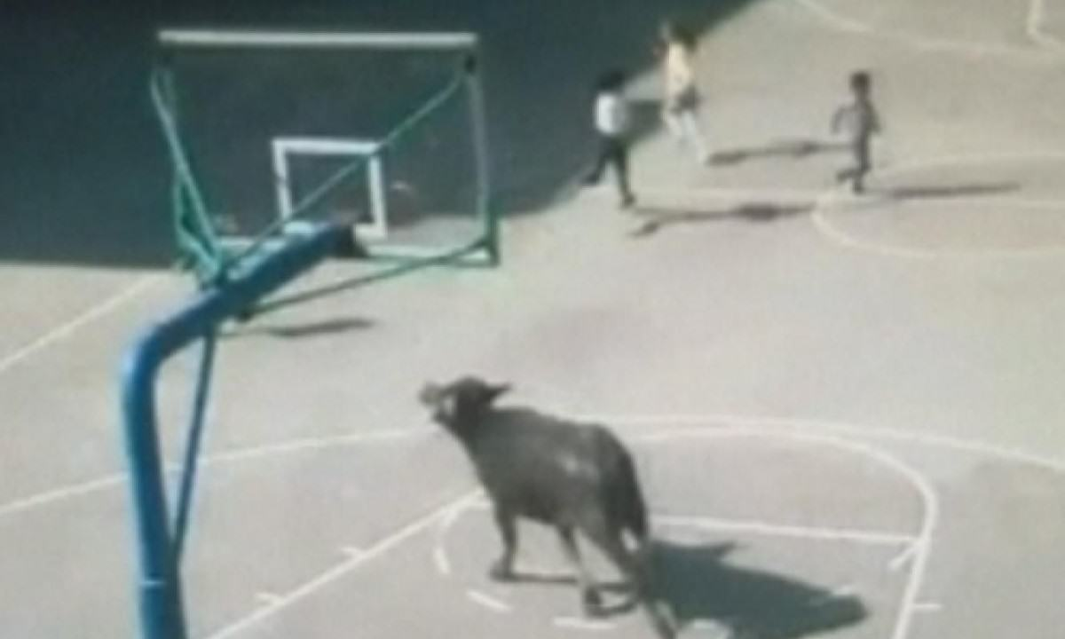 Buffalo Gets Free, Goes On Rampage Through Chinese Primary School primary