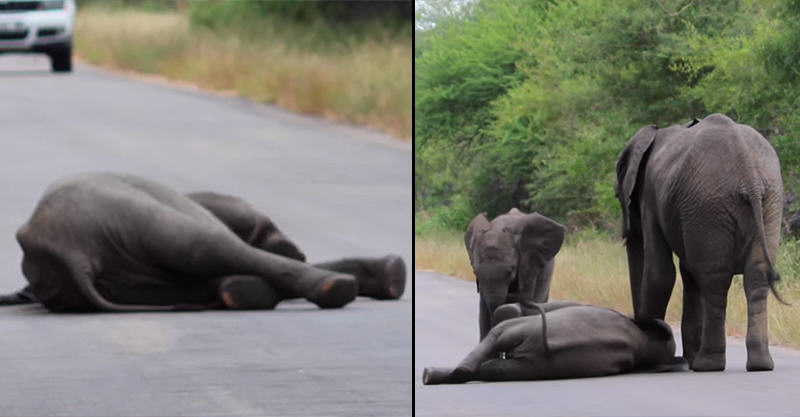 Elephant Herd Come To Rescue When Elephant Calf Collapses In Road 1146