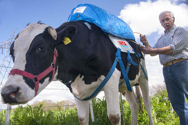 Backpacks For Cows Collect Their Farts And Use Them For Energy 152