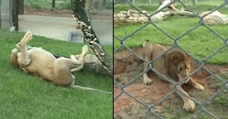 Lion That Was Caged For 13 Years Feels Grass And Dirt For First Time 182