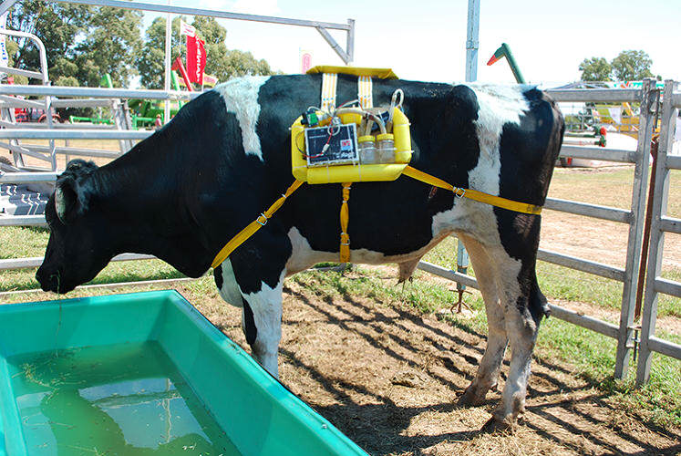 Backpacks For Cows Collect Their Farts And Use Them For Energy 34