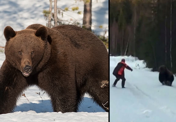 Bear Confronts Swedish Man Who Quickly Scares It Away Like A Boss bear WEB