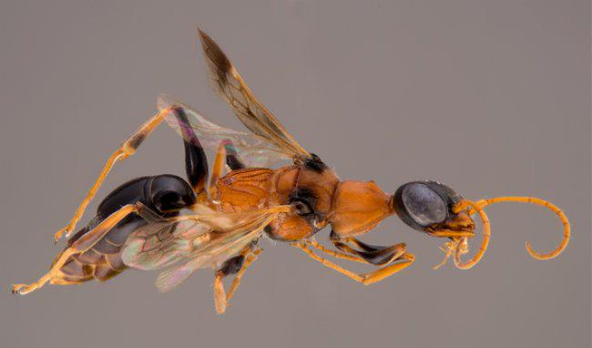 This Is The Zombie Wasp And I NEVER Want To Get Stung By It bee