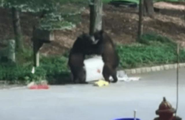 Two Huge Bears Come To Blows In Middle Of Busy Neighbourhood blows
