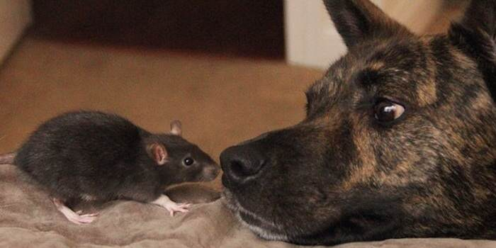 This Rat And Dog Have The Best Friendship Ever rat