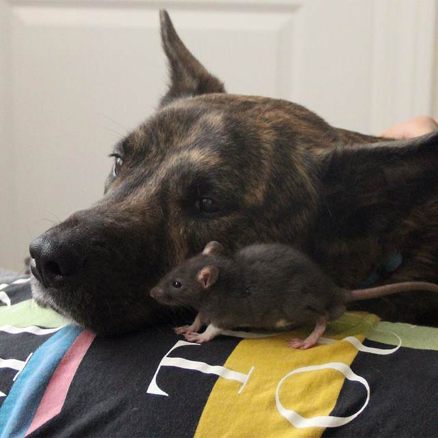 This Rat And Dog Have The Best Friendship Ever rat2