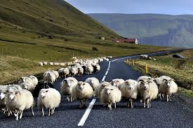 Sheep Misses Target He Wanted To Hit, Crashes Right Into Passing Car sheep