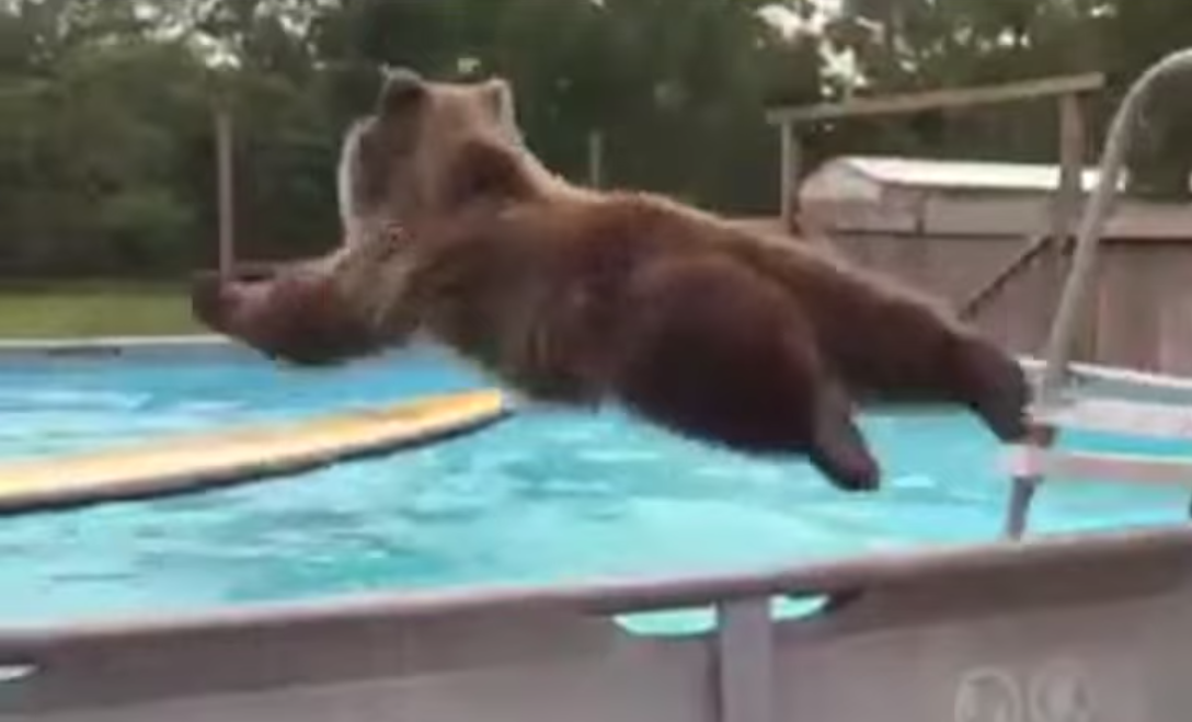 Bear Belly Flops Into Pool, Knows How To Enjoy Himself Screen Shot 2015 06 26 at 13.35.12