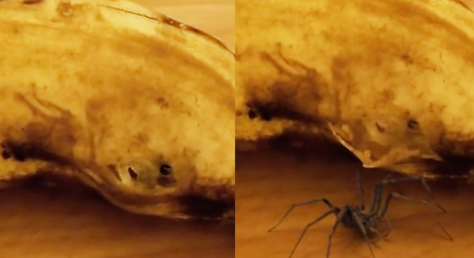 Footage Of Spider Bursting Out Of A Banana Is Very NOPEworthy Screen shot 2015 06 14 at 15.51.55