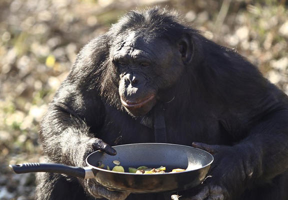 Chimps Can Cook, Prefer Hot Food And Are Probably Going To Take Over chimp 4