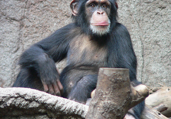 Chimps Can Cook, Prefer Hot Food And Are Probably Going To Take Over chimp web