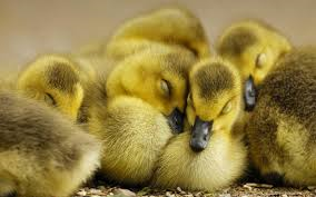Taxi Driver Stops To Save Ducklings, Lets Them Have A Free $21 Ride To The River ducks1