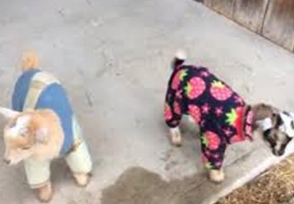 These Baby Goats In PJs Will Brighten Your Day Right Up goats web