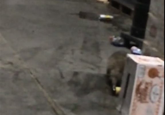 Raccoon Breaks Into Alcohol Warehouse, Gets Hammered raccoon