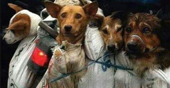 Retired Teacher Spends Money On Stray Dogs, Buys Them Food, Saves Them From Yulin Festival yang1