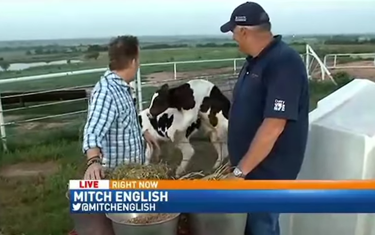 Cows Start Banging During Live News Broadcast 1