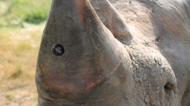 Endangered Rhinos To Get Horn Cams To Catch Poachers In The Act 1130