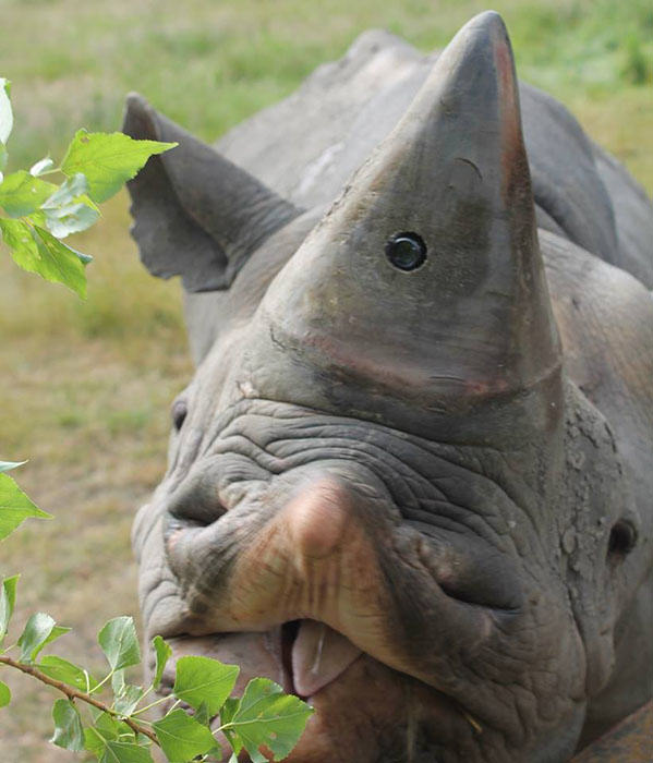 Endangered Rhinos To Get Horn Cams To Catch Poachers In The Act 239