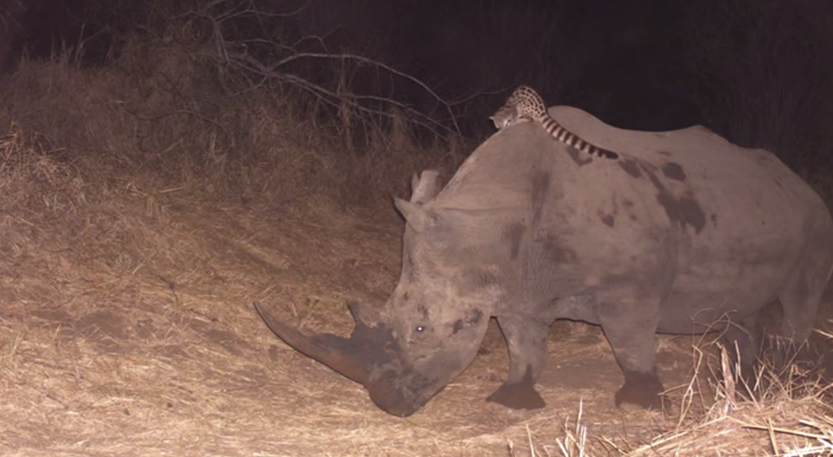 African Wildcat Spotted Hitching A Ride On The Back Of Rhino And Buffalo 55b797272d65a