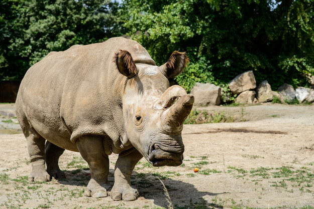 Rare Northern White Rhino Dies, Leaving Only 4 In The World 55b9f5184cc0a