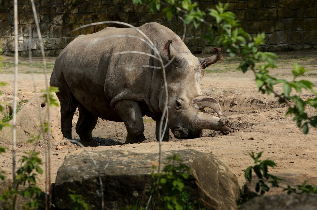 Rare Northern White Rhino Dies, Leaving Only 4 In The World %name