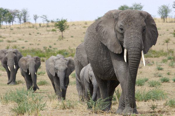 Five Endangered Elephants Slain By Poachers, As World Mourns Cecil The Lion 55bb46f9e2904