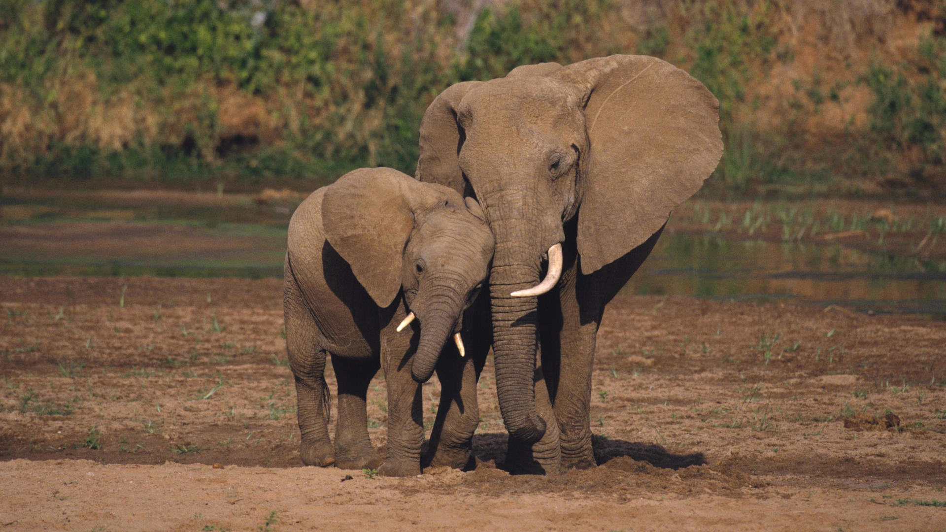 Five Endangered Elephants Slain By Poachers, As World Mourns Cecil The Lion %name