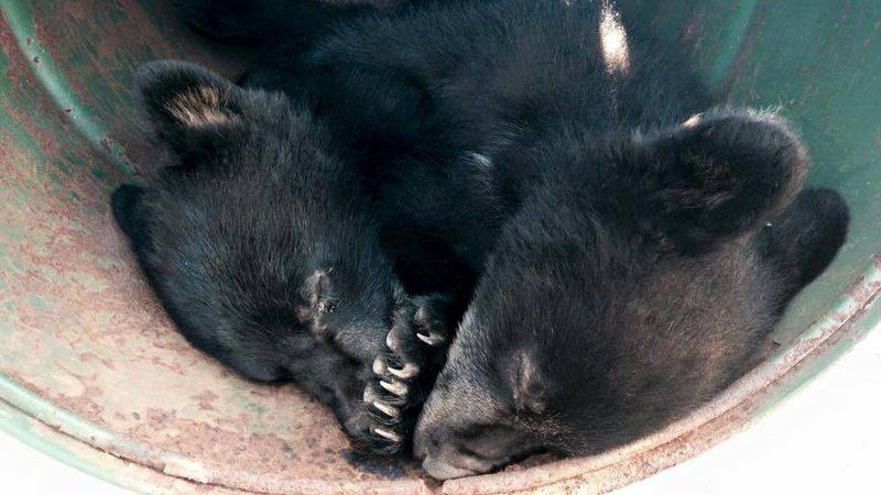 Conservation Officer Suspended For Refusing To Kill Bear Cubs Gets Ricky Gervais Backing XIhVmjvNBeaaTAG 800x450 noPad