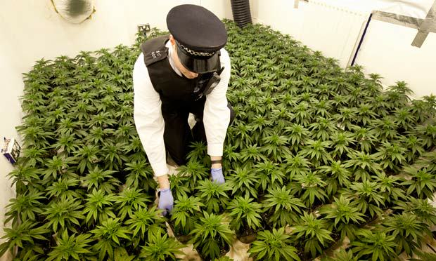 Cannabis Prohibition Has Gone To Pot: Users Of Plant Given Green Light cannabis 011