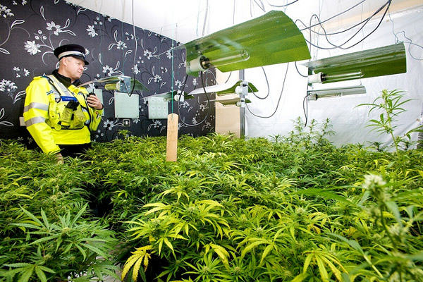 Cannabis Prohibition Has Gone To Pot: Users Of Plant Given Green Light cannabis farm source west midlands police 400px