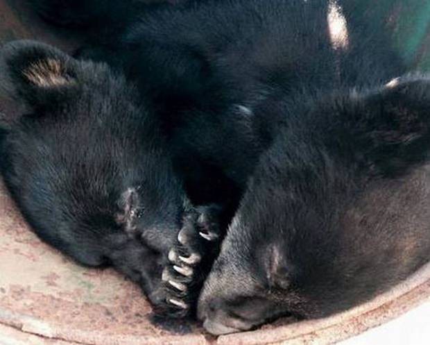 Wildlife Conservation Officer Suspended For Refusing To Kill Two Bear Cubs cubs