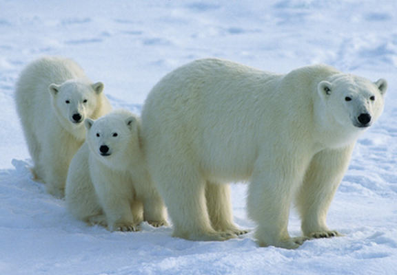 Polar Bears Will Become Extinct If Global Warming Is Not Reversed Say Experts polar bears WEB