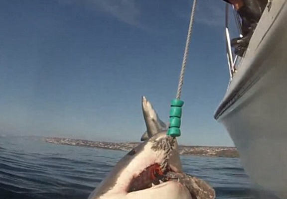 Great White Shark Photobombed By Another In Amazing Footage sharkw web