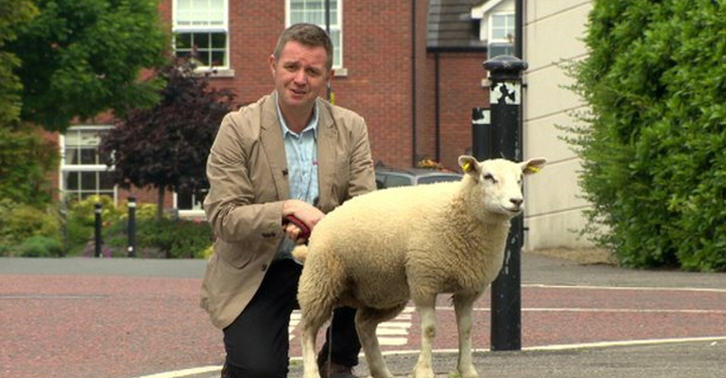 BBC Reporter Shows Exactly Why Animals And Live TV Do Not Mix sheep re fb