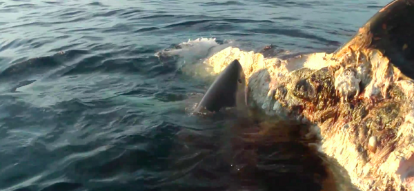 Five Sharks Destroy A Whale In Seriously Terrifying Footage whale1