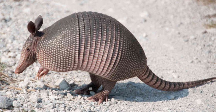 Man Shoots Armadillo, Ends Up In Hospital When Bullet Bounces Back A1jaWHbZ4armadillo FB.jpg