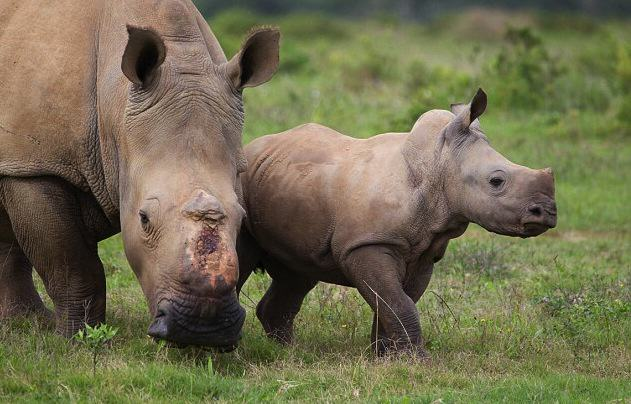 Baby Rhino Pictured Smiling Following Attack By Poachers That He Survived AeGNohpwZJacques Matthysen 2.jpg