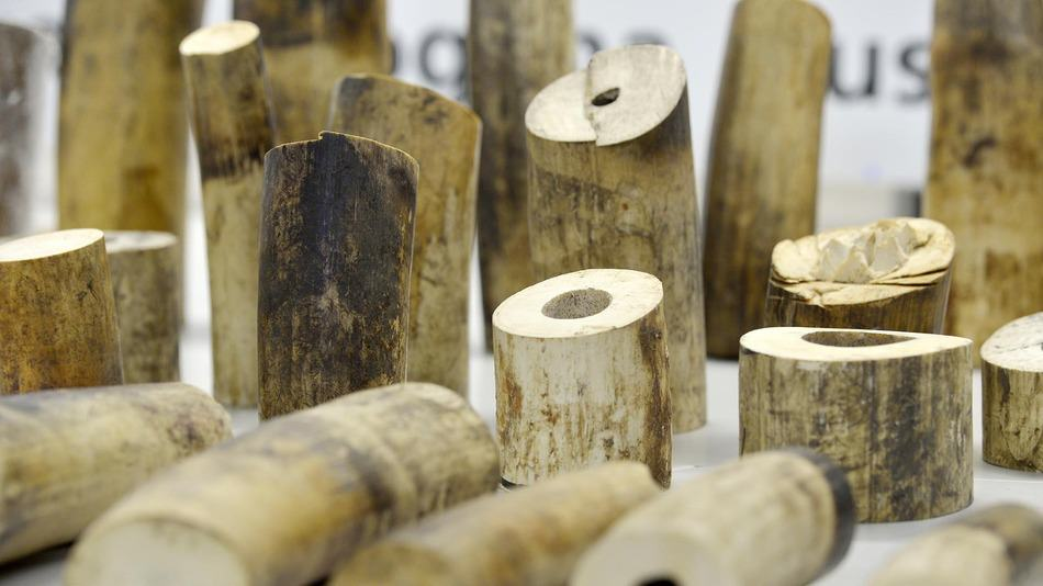 Swiss Customs Confiscate 578 Pounds Of Ivory Destined For China E9CHyLbw8
