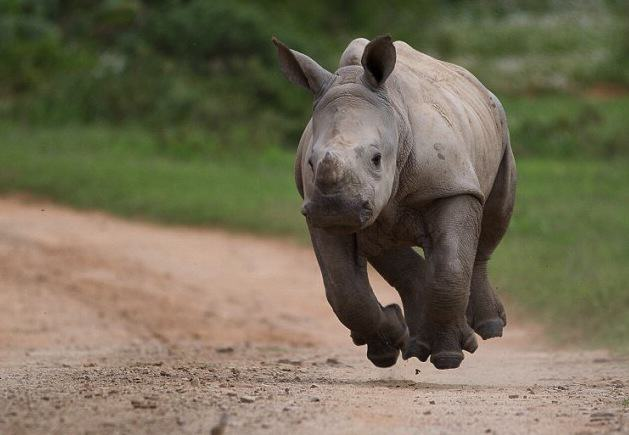 Baby Rhino Pictured Smiling Following Attack By Poachers That He Survived Fv98Am2RxJacques Matthysen 3.jpg