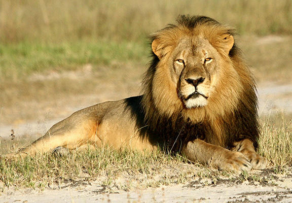 Cecil The Lion Is Going To Get A Statue In His Memory SaUShsxOC