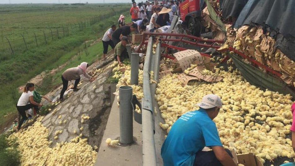 Thousands Of Fluffy Yellow Chicks Were Let Loose On A Chinese Highway UNILAD 1515