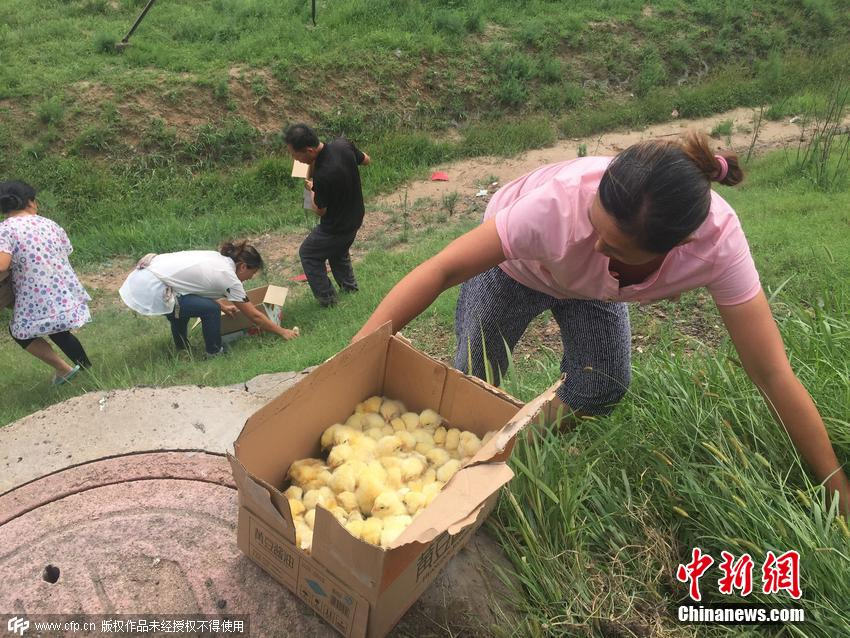 Thousands Of Fluffy Yellow Chicks Were Let Loose On A Chinese Highway UNILAD 283