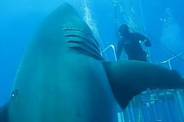 Footage Released Of World's Largest Great White Shark Swimming With Divers