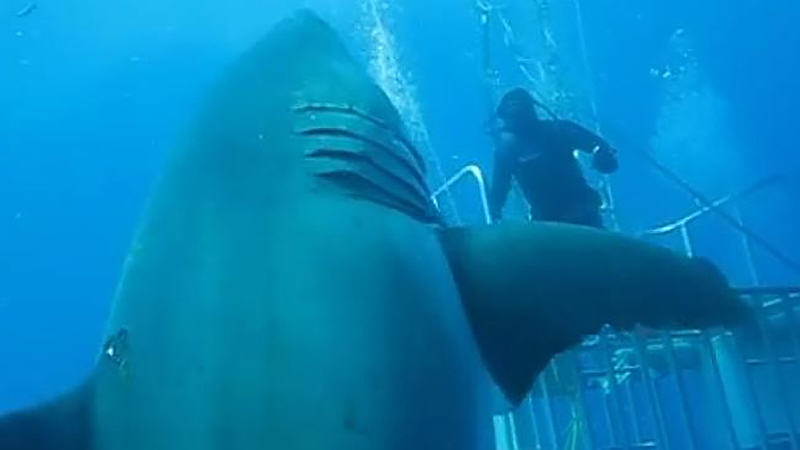 Footage Released Of World's Largest Great White Shark Swimming With Divers UNILAD 437653 48faba0c 4128 11e5 aee4 367c734067073